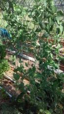 Alysia's garden 6