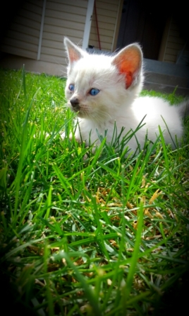 female white kitten.jpg