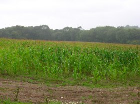 Maize_Field_in_the_Rain_-_geograph.org.uk_-_531408